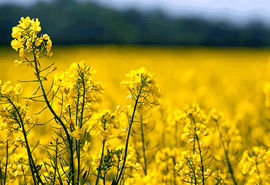 افزایش قیمت خرید تضمینی دانههای روغنی در انتظار تصویب شورای اقتصاد
