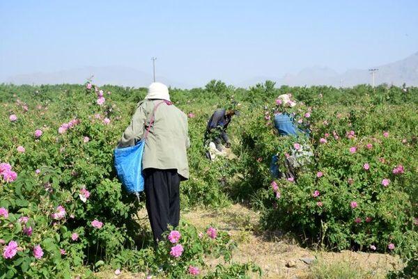 مزارعِ گلِ محمدی گلپایگان فرصتی برای جذب گردشگر و ایجاد اشتغال