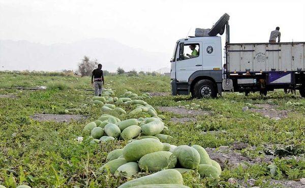 کشت هندوانه ایرانی در افغانستان