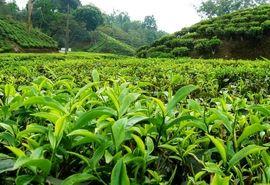 افزایش 17 درصدی تولید برگ سبز چای در سال جاری