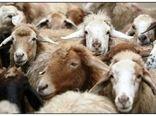 ٥,٦ میلیون رأس انواع دام سبک برای کشتار عرضه شد