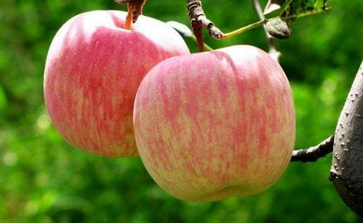 خشکسالی، عطر سیب گلاب را گرفت