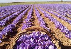 برداشت زعفران از اراضی کشاورزی استان اصفهان