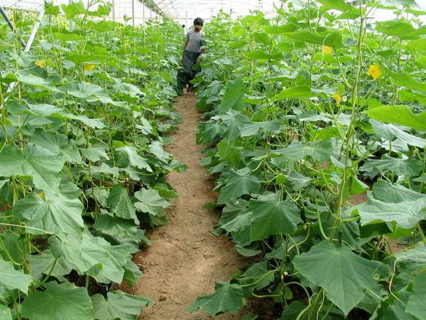 تولید محصولات گلخانهای ۶ هزار فرصت شغلی در یزد ایجاد کرد