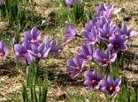 افزایش سطح زیر کشت زعفران در شهرستان زرند