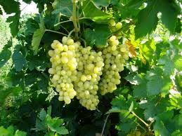 تولید بیش از 72 تن  انگور در هر هکتار درشهرستان کوار