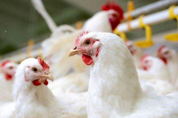 بیش از ۲ تن مرغ قاچاق در شهرستان چرداول  کشف شد