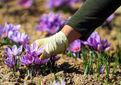 زعفران از سطح چهار هزار و ۳۵۰ هکتار کشتزار خراسان شمالی در حال برداشت است