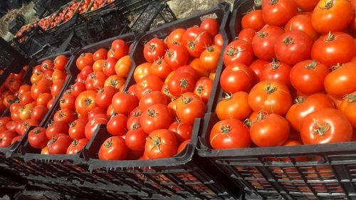 مطالبات گوجهکاران کردستانی پرداخت شد