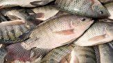 پیش بینی برداشت ۲ تن ماهی تیلاپیا در شهرستان درمیان