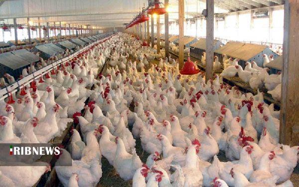 تولید 4 درصد گوشت مرغ کشور در کردستان