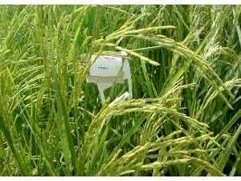 مبارزه بیولوژیک با ساقه خوار برنج در 1700 هکتار شالیزار بابل
