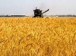 خرید تضمینی ۹۸ هزار و ۵۰۰ تن گندم در استان اصفهان