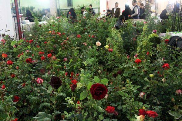 متقاضیان کشت گلهای زینتی در یزد وام ارزان قیمت دریافت میکنند