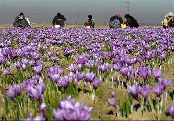 کشت زعفران در 6 هکتار از اراضی شهرستان اهر در سال زراعی جاری