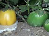 تولید بادمجان سبز و طلایی در شهرستان شاهین شهر و میمه