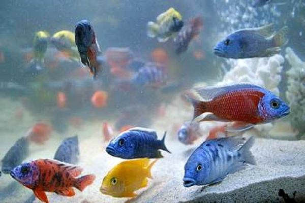 تولید سالانه ۶۷ میلیون قطعه ماهی زینتی در اصفهان