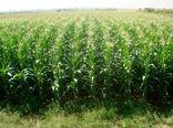 در سال جاری 2500 هکتار از مزارع بردسیر به کشت ذرت علوفه ای اختصاص یافت
