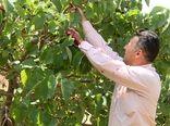 آغاز برداشت شاتوت از ۶۵ هکتار باغهای بارور شهر برزک کاشان