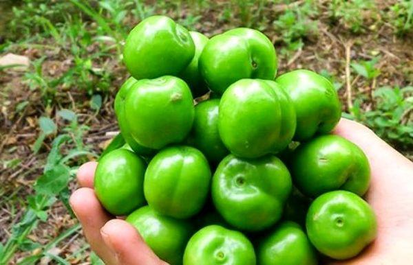 آغاز برداشت نوبرانه گوجه سبز - سرپلذهاب