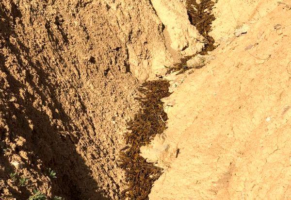 کوچ ملخها به کوه، مبارزه با آن را در بوشهر دشوار کرد