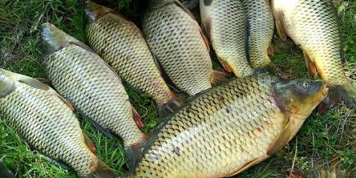 ارائه راهکار برای پیشگیری از شیوع و انتشار بیماری KHV در ماهیان گرمابی کشور