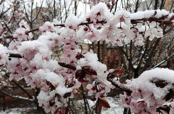 سرما به درختان هستهدار خراسان شمالی خسارت وارد کرد