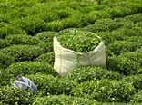 خرید 53 هزار تن برگ سبز چای از چایکاران گیلان و مازندران