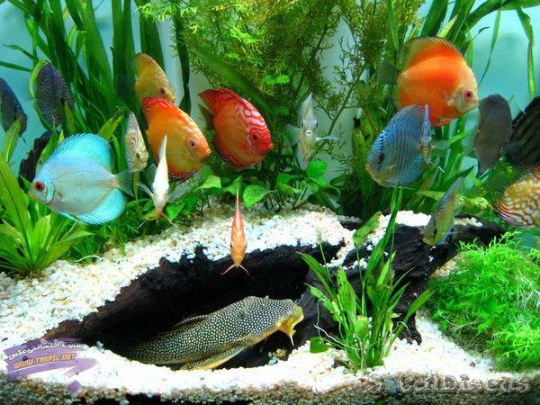 تولید ماهیان زینتی در کشور به 400 میلیون قطعه میرسد