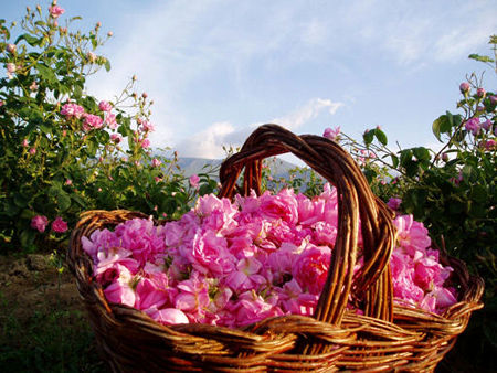 کشت ۷۱ درصد گل محمدی جهان در ایران