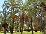 برای نخستین بار در کشور، شناسه دار کردن پاجوش های خرما در خوزستان