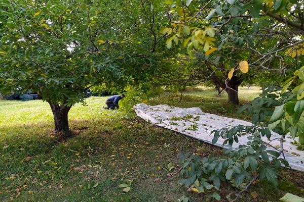 افزایش ۲۵ درصدی برداشت گردو در شهرستان مراغه