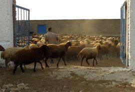 بازدید میدانی رییس سازمان جهاد کشاورزی خراسان شمالی از مجتمع دامداری سرودشت محمدیه در شهرستان جاجرم