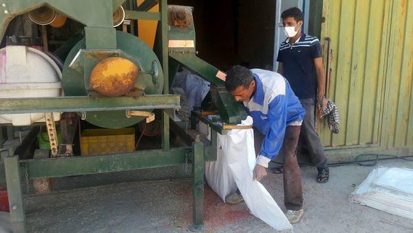 بوجاری  شدن بیش از ۲۵۰ تن بذر خود مصرفی کشاورزان در شهرستان اردل