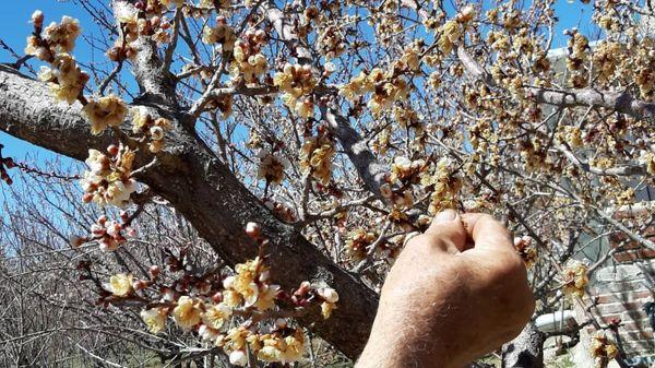 سرما ۲۶ میلیارد تومان به کشاورزان جاجرمی خسارت زد