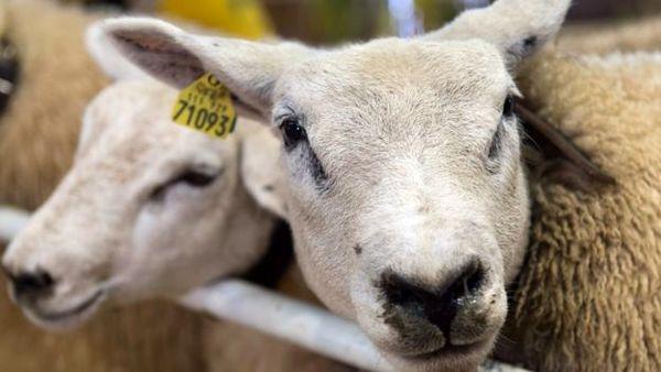عرضه 80 هزار رأس گوسفند زنده برای ذبح در روزعید قربان