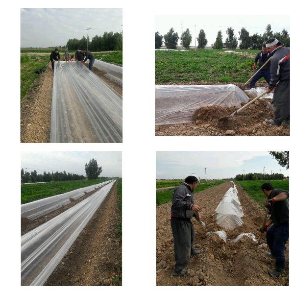 کشت سبزی و صیفی در شهرستان مهران آغاز شد
