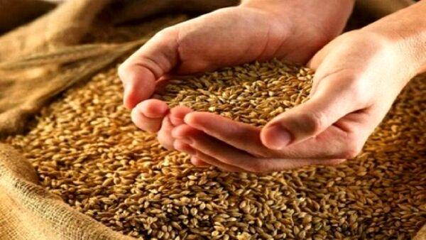 کشاورزان بوشهری نگران بذر گندم نباشند