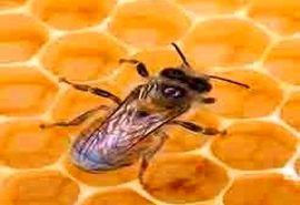 13 هزار فروند ملکه زنبورعسل در ساری تولید شد