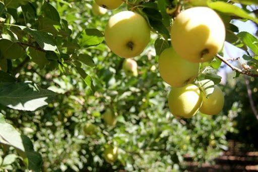 برداشت سالانه ۲۲۰ هزار تن انواع سیب درختی از باغات دماوند