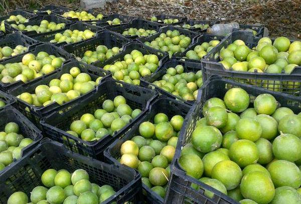 پیشبینی برداشت ۵۲هزار تن محصول لیموشیرین
