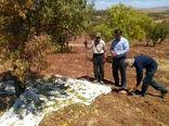 پیشبینی تولید بالغ بر 7 هزارتن بادام در اقلید