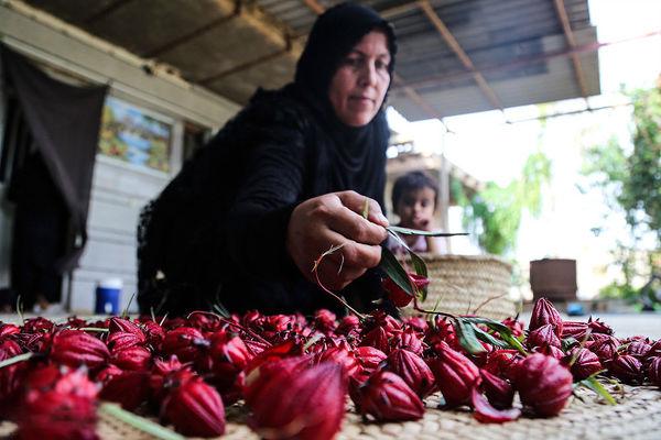 کاشت چای ترش در روستای علوه اهواز