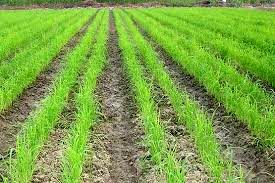 افزایش بهرهوری آب، اولویت شلتوککاری خوزستان