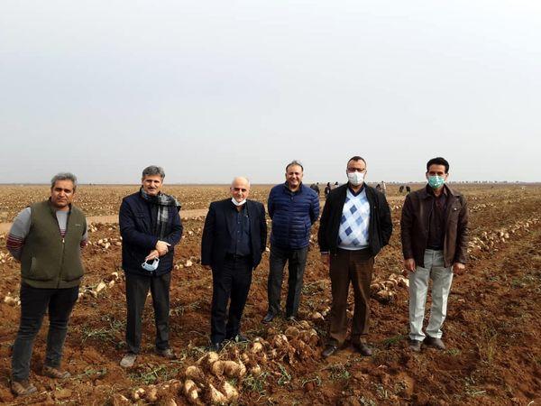 کشت چغندرقند بهاره درسطح ۱۴۳۳ هکتار از اراضی کشاورزی استان قزوین