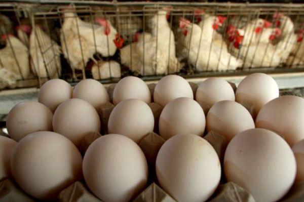 شوک آنفلوآنزای مرغی، تخم مرغ آفریقایی و کرهای را هم گران کرد