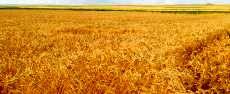 آغاز برداشت خوشههای طلایی گندم در آرادان
