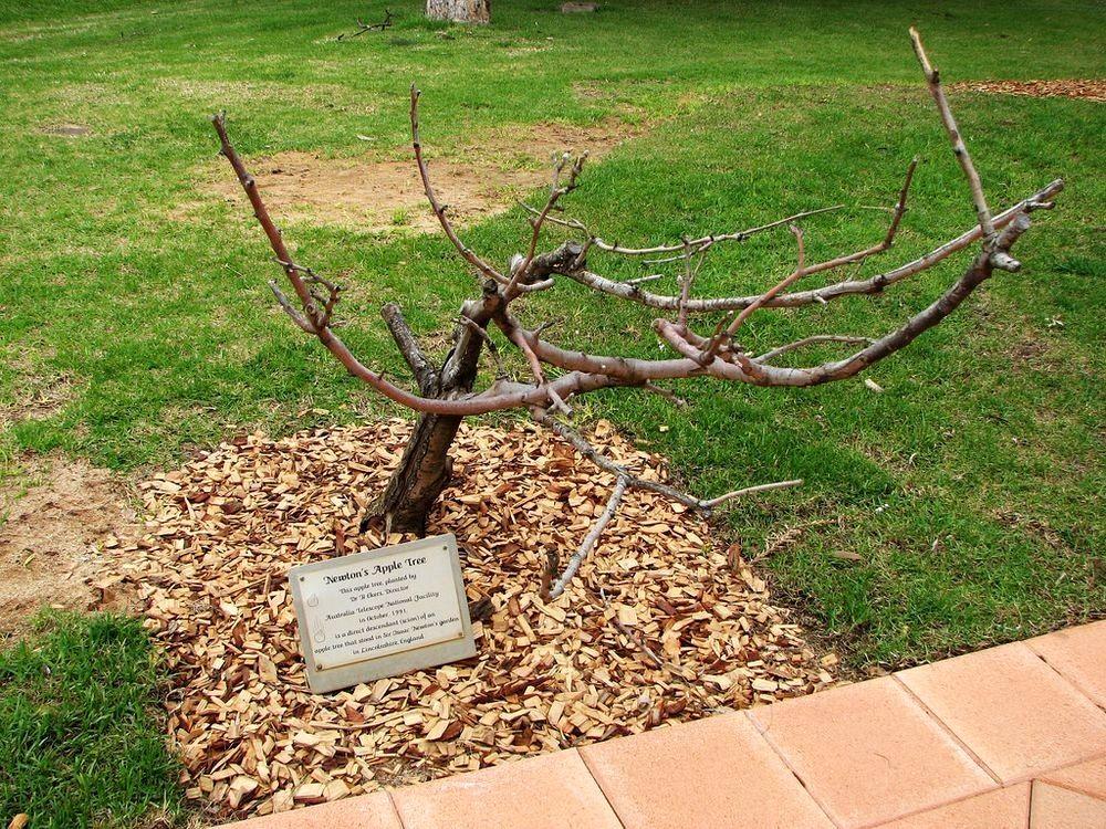 newtons-apple-tree-42
