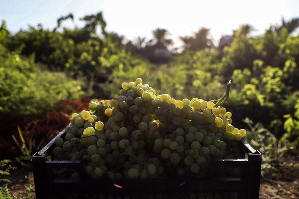 625 هزار تن محصولات باغی در استان قزوین تولید میشود