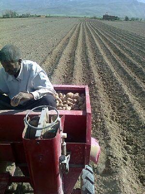 کاشت سیب زمینی در خرم بید ادامه دارد